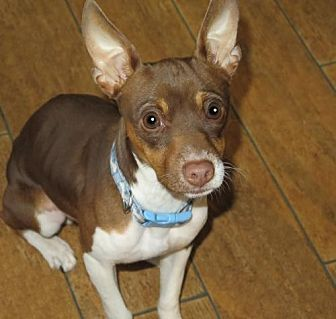 Rat Terrier Mix Dog for adoption in San Antonio, Texas - Lewis