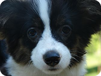 Corgi Puppy for adoption in Afton, Tennessee - Darla