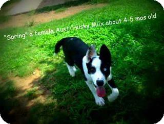 Husky/Shepherd (Unknown Type) Mix Dog for adoption in Gadsden, Alabama - Spring
