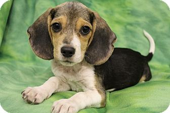Beagle Puppy for adoption in Bedminster, New Jersey - McCoy