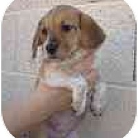 Adopt A Pet :: Puppies - Phoenix, AZ