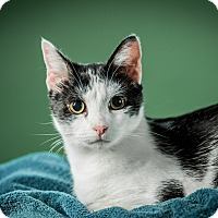 Adopt A Pet :: William - St. Louis, MO