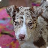 Adopt A Pet :: Darius - Garland, TX