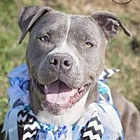 Staffordshire Bull Terrier/Pit Bull Terrier Mix Dog for adoption in Iola, Texas - Derby
