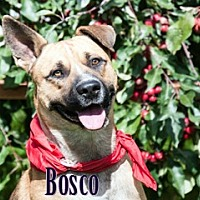 Adopt A Pet :: Bosco - Hamilton, MT