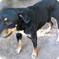 Hound (Unknown Type)/Terrier (Unknown Type, Medium) Mix Dog for adoption in Tahlequah, Oklahoma - Henrietta