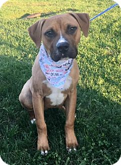 Terrier (Unknown Type, Medium)/American Pit Bull Terrier Mix Dog for adoption in Lexington, North Carolina - TYSON