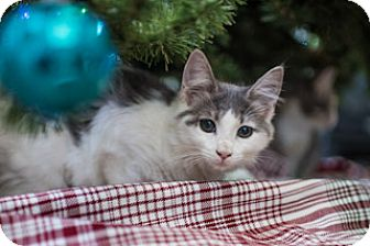 Domestic Longhair Kitten for adoption in Columbus, Ohio - Daisy