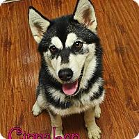 Adopt A Pet :: Cinnabon - Carrollton, TX