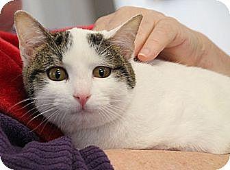 Domestic Shorthair Cat for adoption in Huntsville, Alabama - Garbo