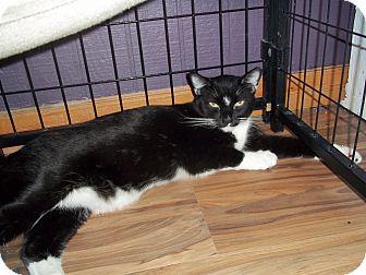 Domestic Shorthair Cat for adoption in Glendale, Arizona - TUX