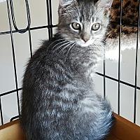 Domestic Mediumhair Cat for adoption in San Fernando Valley, California - Tucker