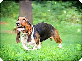 Basset Hound Dog for adoption in Macon, Georgia - Maxie