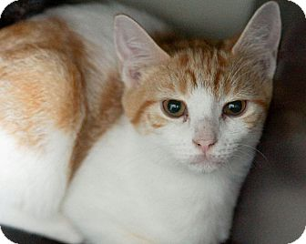American Shorthair Kitten for adoption in Morganville, New Jersey - Confetti