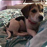Hound (Unknown Type) Mix Puppy for adoption in Sagaponack, New York - Poppy