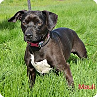 Adopt A Pet :: Mauli - Yreka, CA