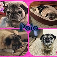 Adopt A Pet :: Polo - Walled Lake, MI