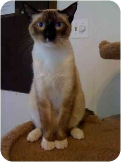 Siamese Cat for adoption in Chicago, Illinois - Nighthawk
