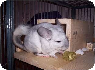 Chinchilla for adoption in Avondale, Louisiana - Dudley