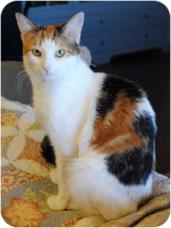 Calico Cat for adoption in Palmdale, California - Muffin