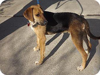 Hound (Unknown Type) Mix Dog for adoption in Schererville, Indiana - Sammy