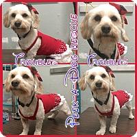 Adopt A Pet :: Troubles - South Gate, CA