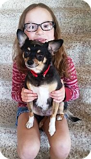 Chihuahua Mix Dog for adoption in Radford, Virginia - Scotti