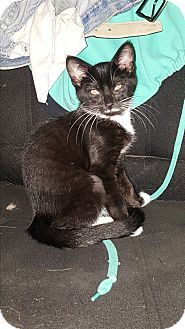 Domestic Shorthair Kitten for adoption in Battle Creek, Michigan - JoJo