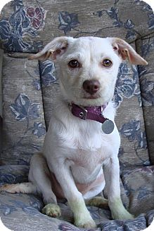 Terrier (Unknown Type, Small)/Chihuahua Mix Puppy for adoption in Hurricane, Utah - Mimi