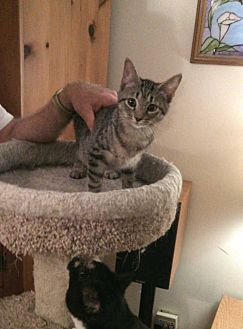 Domestic Shorthair Kitten for adoption in Fayetteville, Tennessee - Sweetpea