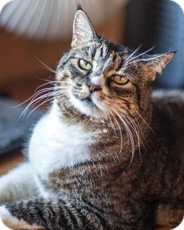 Domestic Shorthair Cat for adoption in St Helena, California - Dairy Queen