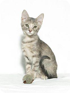 Domestic Shorthair Kitten for adoption in Lufkin, Texas - Piper