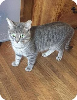 Domestic Shorthair Cat for adoption in Gilberts, Illinois - JASMINE