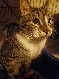 Domestic Shorthair Cat for adoption in Walla Walla, Washington - Bonnie
