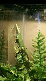 Lizard for adoption in Souderton, Pennsylvania - Acid
