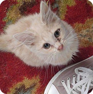 Domestic Mediumhair Cat for adoption in Garner, North Carolina - Papaya