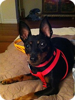 Miniature Pinscher Dog for adoption in Wilmington, Massachusetts - Marley