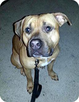 Shepherd (Unknown Type)/Mastiff Mix Dog for adoption in Troy, Michigan - Hank
