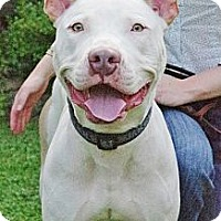 Adopt A Pet :: Maestro - Reisterstown, MD