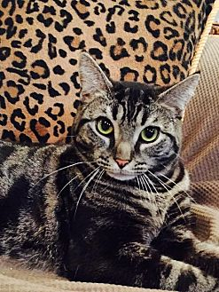 Domestic Shorthair Cat for adoption in Staten Island, New York - Lyndsey