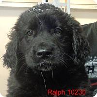 Adopt A Pet :: Ralph - baltimore, MD