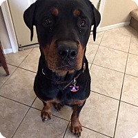 Adopt A Pet :: Sampson - Gilbert, AZ