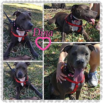 Pit Bull Terrier/Labrador Retriever Mix Puppy for adoption in hollywood, Florida - Dina