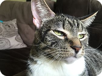 Domestic Mediumhair Cat for adoption in Hainesville, Illinois - Nanny