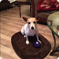 Jack Russell Terrier Mix Dog for adoption in Hohenwald, Tennessee - Molly