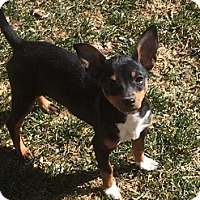 Adopt A Pet :: Sparkle  3 1/2 Months - C/S & Denver Metro, CO