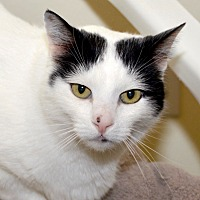 Adopt A Pet :: Peetey - Eastsound, WA