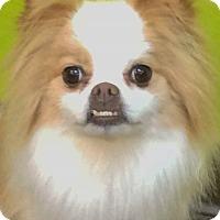 Adopt A Pet :: Leo - Bridgeton, MO