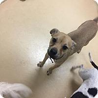 Adopt A Pet :: Nacho - Chino Hills - Chino Hills, CA
