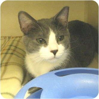 Domestic Shorthair Cat for adoption in Mesa, Arizona - Peanut